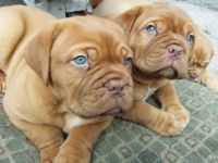 Dogue De Bordeaux Puppies for sale in Oklahoma City, OK, USA. price: NA