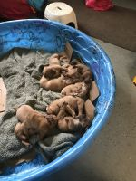 Dogue De Bordeaux Puppies for sale in Middleburg, FL 32068, USA. price: NA