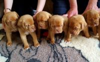 Dogue De Bordeaux Puppies for sale in Clifton, NJ, USA. price: NA