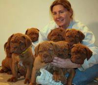 Dogue De Bordeaux Puppies for sale in Laredo, TX, USA. price: NA