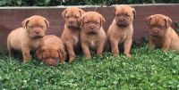 Dogue De Bordeaux Puppies for sale in Sacramento, CA, USA. price: NA