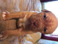 Dogue De Bordeaux Puppies for sale in St. Louis, MO, USA. price: NA