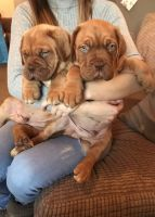 Dogue De Bordeaux Puppies for sale in New York, NY, USA. price: NA