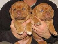 Dogue De Bordeaux Puppies for sale in Birmingham, AL, USA. price: NA