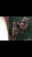Dogue De Bordeaux Puppies for sale in Arcanum, OH 45304, USA. price: NA