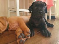 Dogue De Bordeaux Puppies for sale in Pottstown, PA 19464, USA. price: NA
