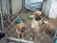 Dogue De Bordeaux Puppies for sale in Hocking County, OH, USA. price: NA