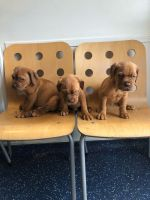 Dogue De Bordeaux Puppies for sale in Harrisburg Ave, Lancaster, PA, USA. price: NA