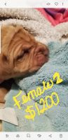 Dogue De Bordeaux Puppies for sale in Finland, MN 55603, USA. price: NA