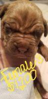 Dogue De Bordeaux Puppies Photos