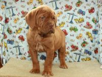 Dogue De Bordeaux Puppies for sale in Shawnee, OK, USA. price: NA
