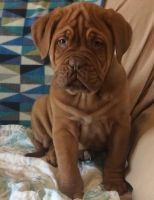 Dogue De Bordeaux Puppies for sale in Marsh Ln, Dallas, TX, USA. price: NA