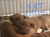 Dogue De Bordeaux Puppies for sale in Laurel, MD 20723, USA. price: NA