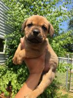 Dogue De Bordeaux Puppies for sale in Wilkes-Barre, PA, USA. price: NA