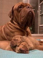 Dogue De Bordeaux Puppies for sale in Crown Point, IN 46307, USA. price: NA