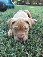 Dogue De Bordeaux Puppies for sale in Columbus, OH, USA. price: NA