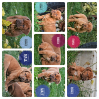 Dogue De Bordeaux Puppies for sale in Edgar, MT, USA. price: NA