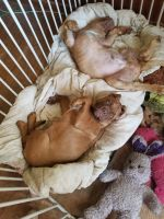Dogue De Bordeaux Puppies for sale in Mariposa, CA 95338, USA. price: NA
