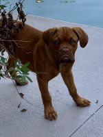 Dogue De Bordeaux Puppies for sale in 6220 4th Ave N, St. Petersburg, FL 33710, USA. price: NA
