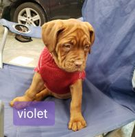 Dogue De Bordeaux Puppies for sale in Springfield, KY 40069, USA. price: NA