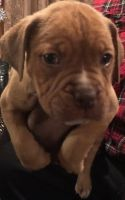 Dogue De Bordeaux Puppies for sale in South Holland, IL, USA. price: NA