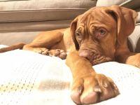 Dogue De Bordeaux Puppies for sale in Farmington Hills, MI 48334, USA. price: NA