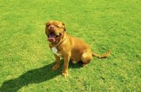 Dogue De Bordeaux Puppies for sale in Washington, DC, USA. price: NA
