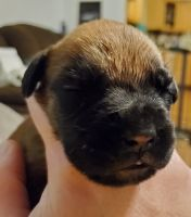 Dogue De Bordeaux Puppies for sale in Pueblo, CO, USA. price: NA