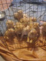 Dogue De Bordeaux Puppies for sale in Anna, TX 75409, USA. price: NA