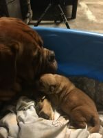 Dogue De Bordeaux Puppies for sale in Clearwater, FL, USA. price: NA