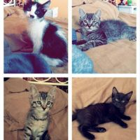 Domestic Mediumhair Cats for sale in Palmdale, CA, USA. price: NA