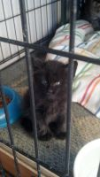 Domestic Mediumhair Cats for sale in Los Angeles, CA, USA. price: NA