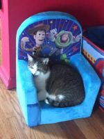 Domestic Mediumhair Cats for sale in Park Forest, IL, USA. price: NA