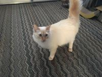 Domestic Mediumhair Cats for sale in Carlsbad, CA, USA. price: NA