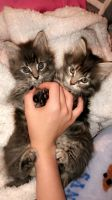 Domestic Mediumhair Cats Photos