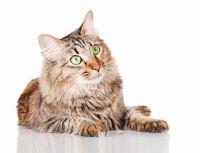 domestic mediumhair cat