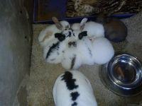 Domestic rabbit Rabbits for sale in San Bernardino, CA, USA. price: NA