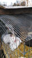 Domestic rabbit Rabbits for sale in Charlotte, MI 48813, USA. price: NA