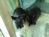 Domestic rabbit Rabbits for sale in Perry, FL 32348, USA. price: NA