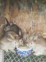 Domestic rabbit Rabbits for sale in North Tonawanda, NY 14120, USA. price: NA