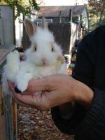 Domestic rabbit Rabbits for sale in Mt Laurel, NJ, USA. price: NA