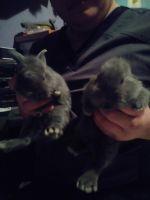 Domestic rabbit Rabbits for sale in Willis, TX, USA. price: NA