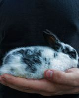 Domestic rabbit Rabbits for sale in Shelby Charter Township, MI, USA. price: NA