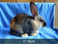 Domestic rabbit Rabbits for sale in Lodi, OH 44254, USA. price: NA