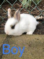 Domestic rabbit Rabbits for sale in Anaheim Hills, Anaheim, CA, USA. price: NA