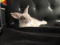 Domestic rabbit Rabbits for sale in Rocklin, CA, USA. price: NA
