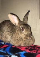 Domestic rabbit Rabbits for sale in Murrells Inlet, SC 29576, USA. price: NA
