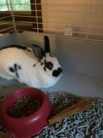 Domestic rabbit Rabbits for sale in Lagrangeville, NY 12540, USA. price: NA