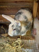 Domestic rabbit Rabbits for sale in Lafayette, IN, USA. price: NA
