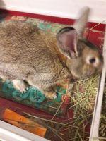 Domestic rabbit Rabbits for sale in Olathe, KS, USA. price: NA
